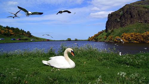 Cisne y gaviotas