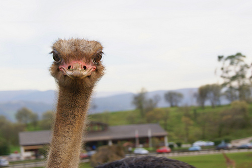 avestruz-cabarceno