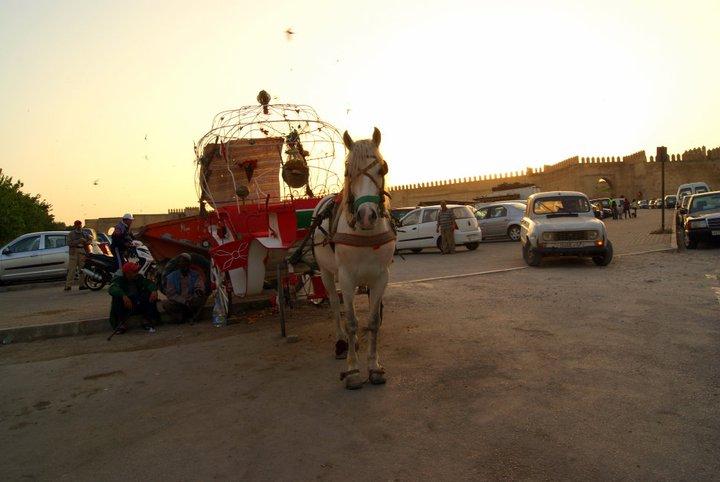 caballo fez
