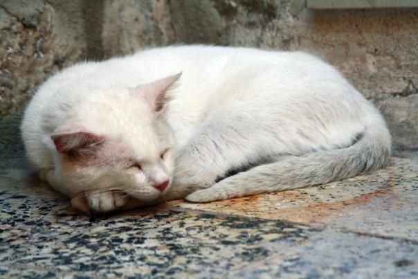 croacia Dubrovnik gato