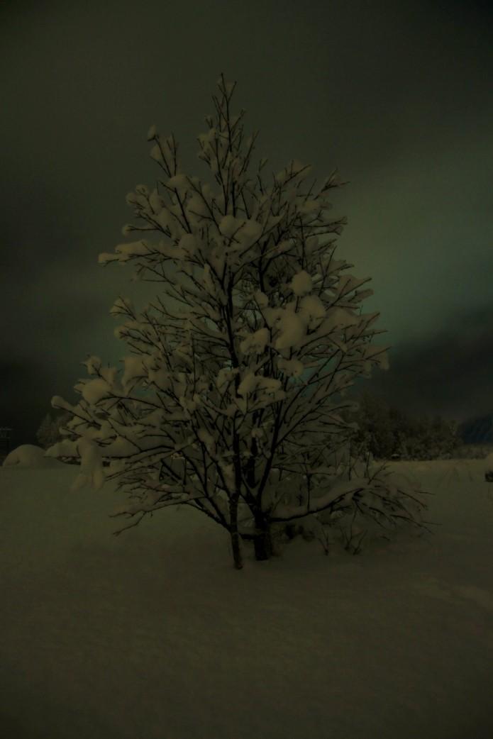 Un joven árbol crece entre la nieve. Tysenfjörd.