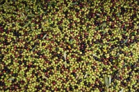 Jaén y el aceite de oliva