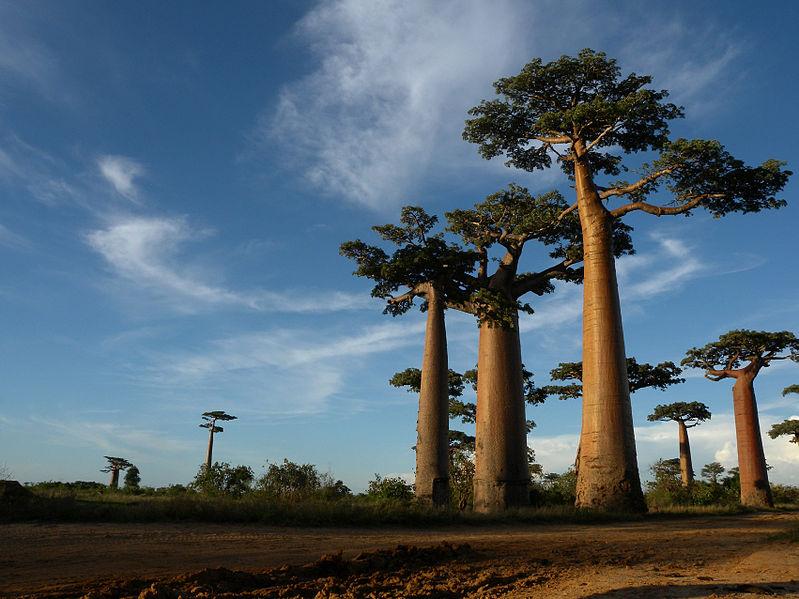 Baobabs_Madagascar
