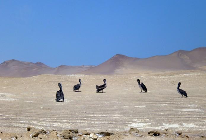 pelicanos en el desierto