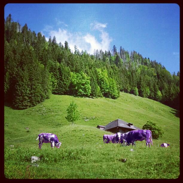 vacas lila