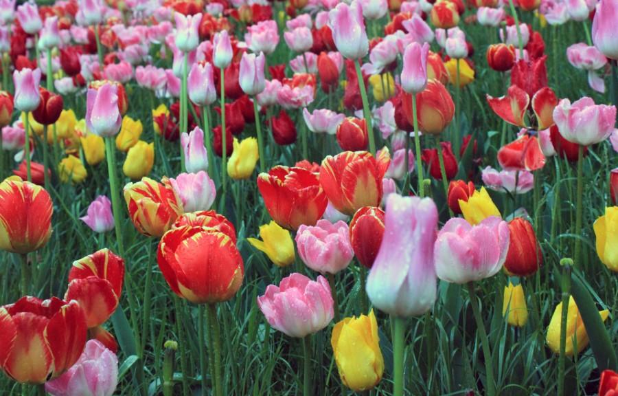 Tulipanes de Dokkum