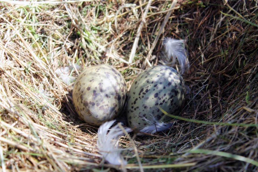Uno de los nidos de gaviota que se encuentran en las praderas de Schiermonnikoog