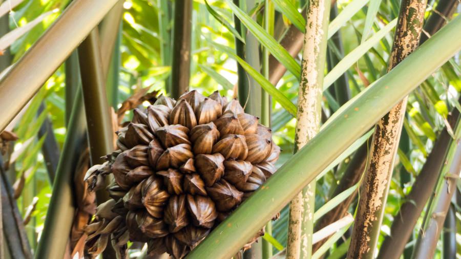 Fruto de la palma de manglar