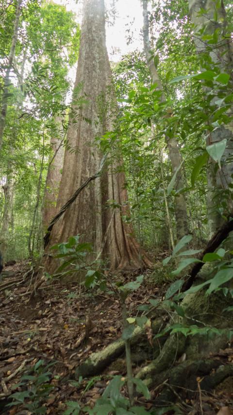 Árboles gigantescos de la selva