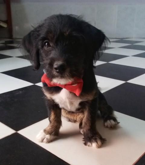 cachorro camboya